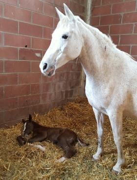 13th March 2016: IPNOTIK colt (Karesy by Drug X Incandescence by Tidjani) - Arabian Horses